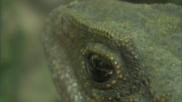 eye of basking tuatara (sphenodon punctatus), stephens island, new zealand - animals in the wild stock-videos und b-roll-filmmaterial