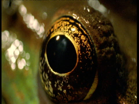 vídeos de stock, filmes e b-roll de eye of bronze frog, florida - olho de animal