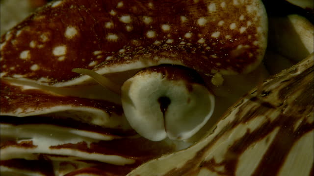 eye of chambered nautilus (nautilus pompilius) on coral reef at night, new caledonia - animal eye stock videos & royalty-free footage