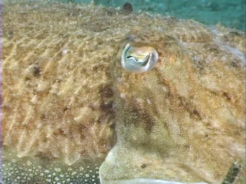 eye of cuttlefish on sandy bottom, - mollusc stock videos & royalty-free footage
