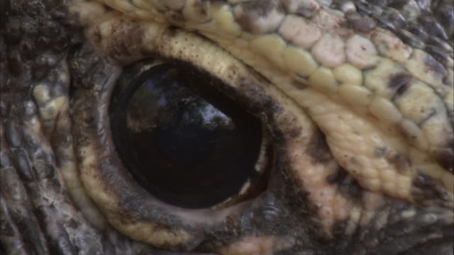 eye of komodo dragon. - animal eye stock videos & royalty-free footage