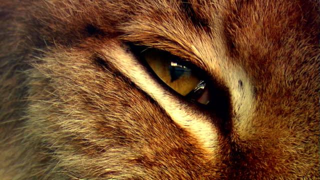 vídeos y material grabado en eventos de stock de ojo de lynx - animales cazando