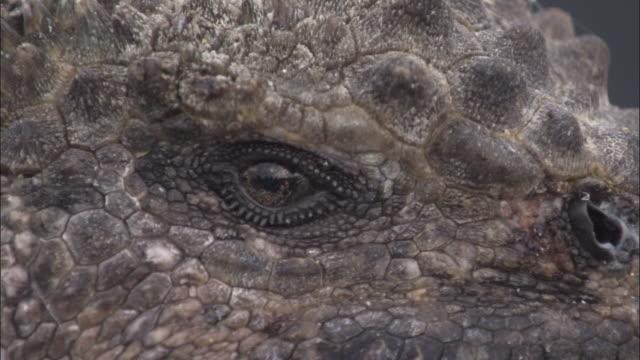 Eye of Marine Iguana.