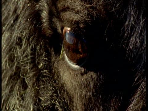 eye of musk ox, alaska - blinking stock videos & royalty-free footage