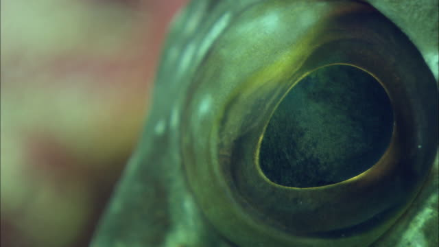 eye of starry grouper looking around. - grouper stock videos & royalty-free footage