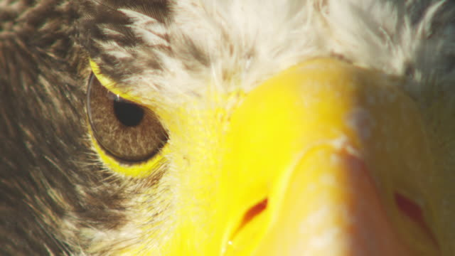 ECU eye of Stellers Sea Eagle as it turns its head