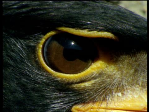 eye of verreaux's eagle blinks, africa - blinking stock videos & royalty-free footage