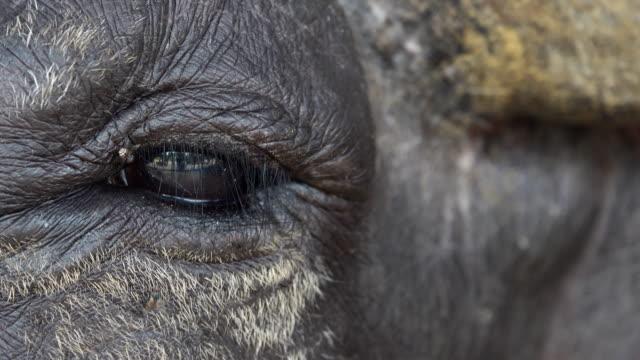vídeos de stock, filmes e b-roll de 4k: olho de búfalo - búfalo africano