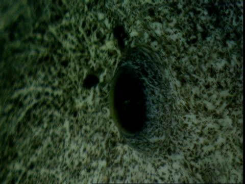 Eye of Wolf eel.