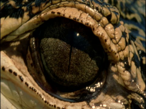 Eye of young alligator rotates as it lifts its head, Florida
