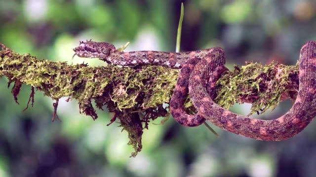 eyelash viper, crawling along branch, laguna del lagarto lodge, costa rica - viper stock videos & royalty-free footage