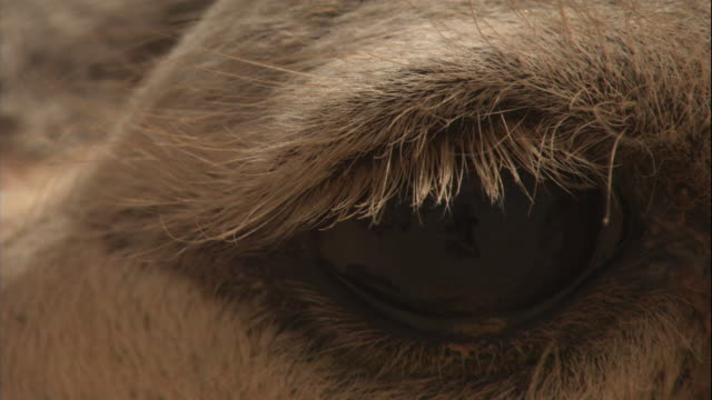 eyelashes protect a camel's eye. - camel stock videos & royalty-free footage