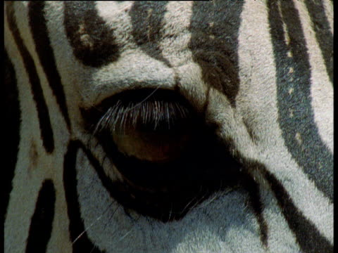 eyes and forehead of zebra, masai mara - animal eye stock videos & royalty-free footage