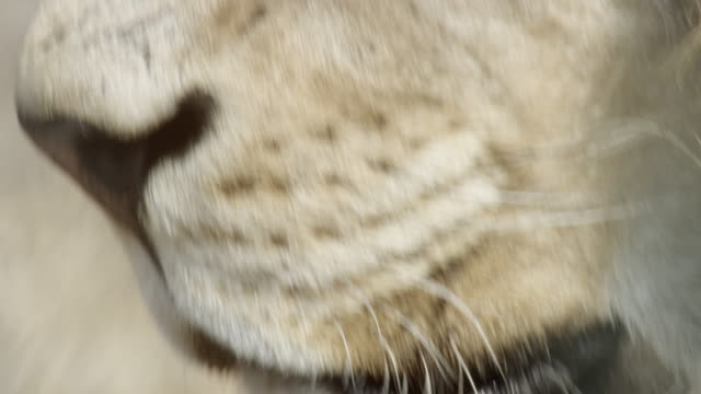 Eyes and muzzle of lion.