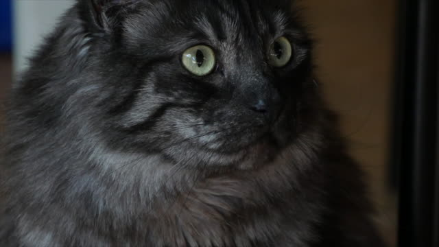 eyes of a grey cat - morrhår bildbanksvideor och videomaterial från bakom kulisserna