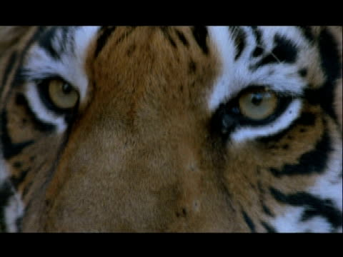bcu eyes of bengal tiger, bannerghata np, india - animal head stock videos & royalty-free footage