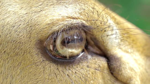 Eyes of Brow-antlered deer,Close-up