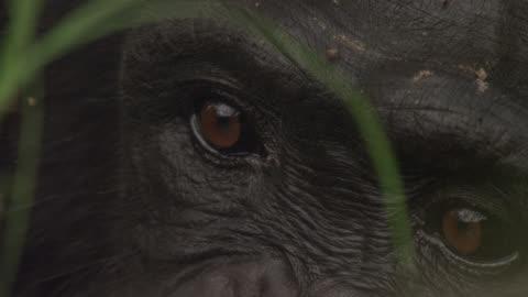 vidéos et rushes de eyes of chimpanzee (pan troglodytes) in forest, senegal - chimpanzé