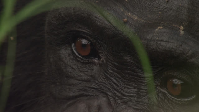 eyes of chimpanzee (pan troglodytes) in forest, senegal - primate stock videos & royalty-free footage