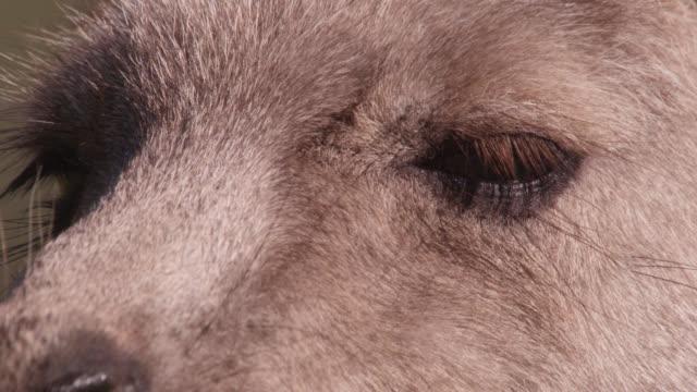 Eyes of Eastern grey kangaroo, Australia