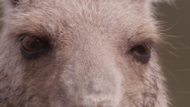 eyes of eastern grey kangaroo, australia - grey eyes stock videos & royalty-free footage