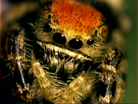 ecu eyes of jumping spider looking to camera, usa - extreme close up stock videos & royalty-free footage