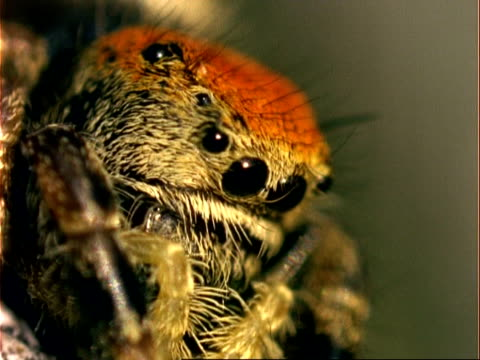 ecu eyes of jumping spider, usa - spider stock videos & royalty-free footage