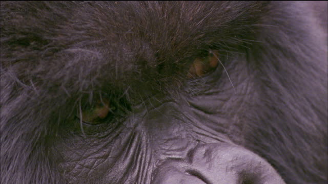 Eyes of Mountain Gorilla Available in HD.