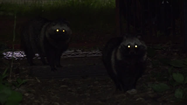 vídeos de stock e filmes b-roll de eyes of raccoon dogs shine in darkness. japan. - olho de animal