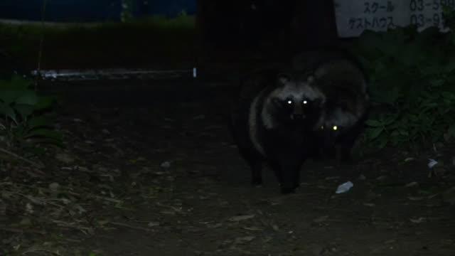 Eyes of raccoon dogs shine in darkness. Japan.