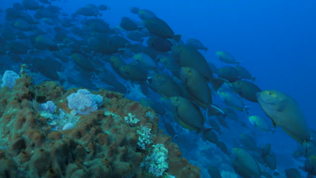 eyestripe surgeonfish schooling in the coral reef - surgeonfish stock videos and b-roll footage