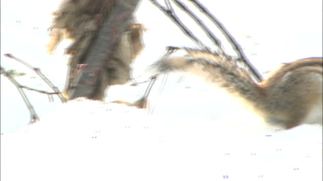 ezo chipmunk eats nut whilst on snow, japan - シマリス点の映像素材/bロール