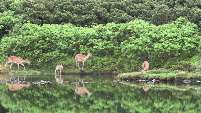 vidéos et rushes de ezo deer daisetsuzan volcanic group hokkaid_ - plan d'eau