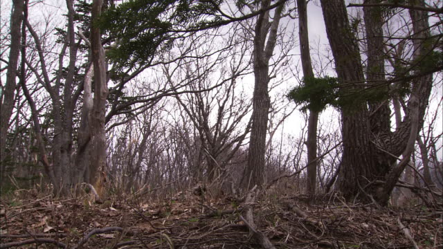 ezo deer in hokkaido - antler stock videos & royalty-free footage