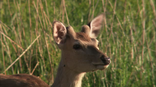 ezo deer in hokkaido - antler stock videos & royalty-free footage