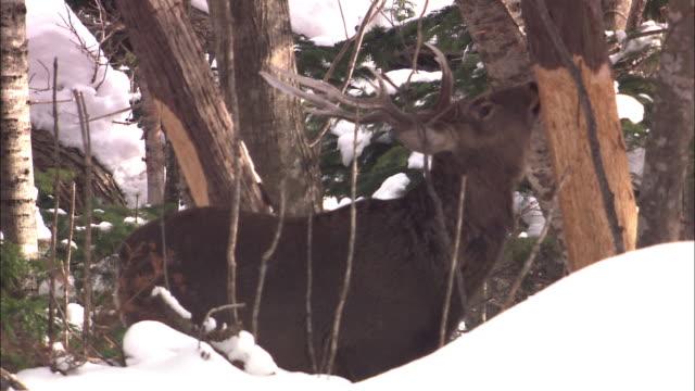 ezo deer in hokkaido - plant bark stock videos and b-roll footage