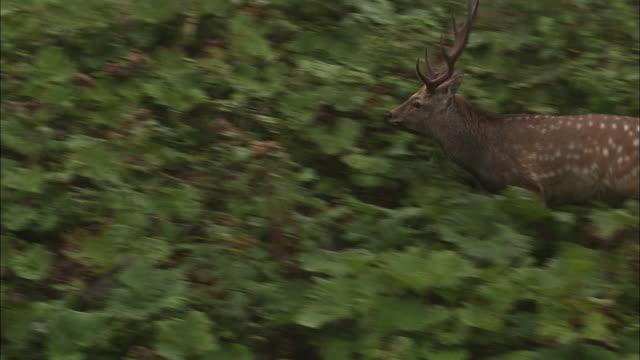ezo deer walking in the woods in hokkaido - deer stock videos & royalty-free footage