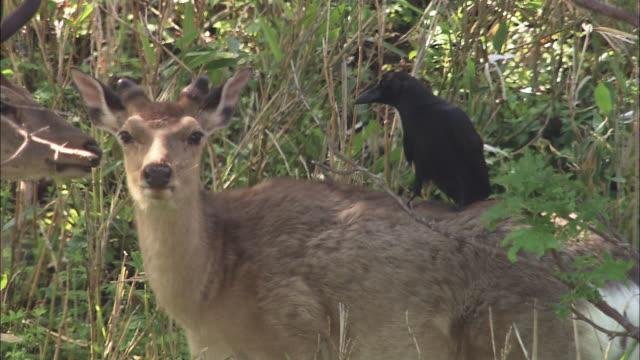vídeos y material grabado en eventos de stock de ezo deers with jungle crow in hokkaido - grupo pequeño de animales