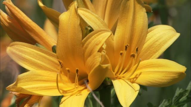 ezo kanzo flowers in hokkaido - var bildbanksvideor och videomaterial från bakom kulisserna