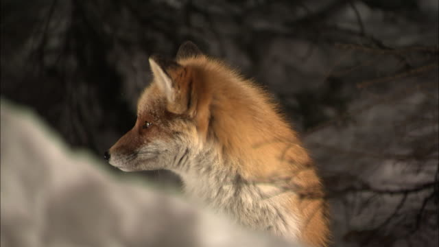 ezo red fox at sarobetsu national park in hokkaido - national park stock videos & royalty-free footage