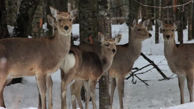 vídeos y material grabado en eventos de stock de ms ezo sika deers in snow / kushiro, japan - grupo pequeño de animales