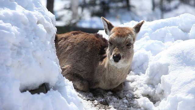 MS Ezo sika female deer at snow / Kushiro, Japan