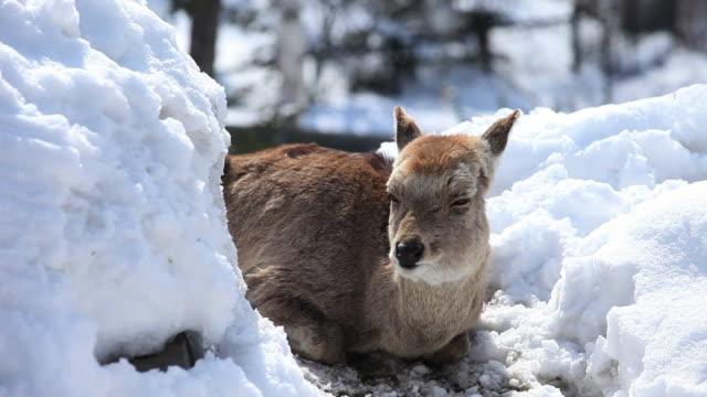 MS Ezo sika female deer resting at snow / Kushiro, Japan