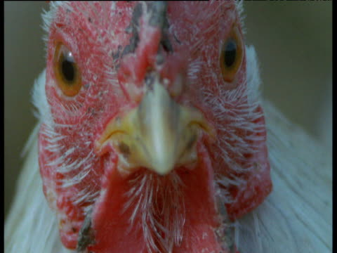 face and beady eyes of chicken, uk - chicken bird stock videos & royalty-free footage