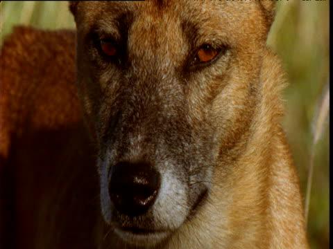 vídeos de stock e filmes b-roll de face and ears of alert dingo in outback, northern territory, australia - linha ondulada