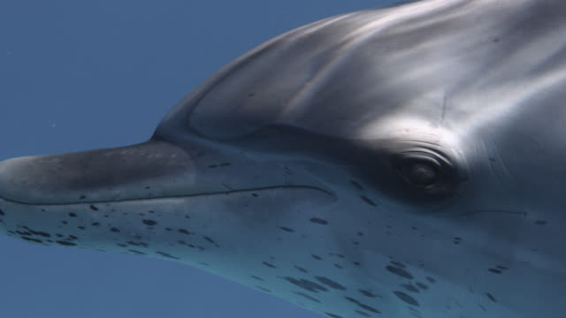 face and eye of atlantic spotted dolphin, bahamas - bimini stock videos & royalty-free footage