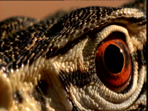 face and eye of goanna looking alert, yuendumu, northern territory, australia - blinzeln stock-videos und b-roll-filmmaterial