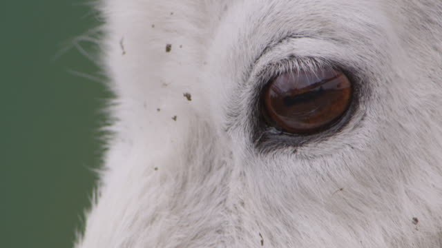 face and eye of mountain goat (oreamnos americanus), glacier national park, usa - animal eye stock videos and b-roll footage