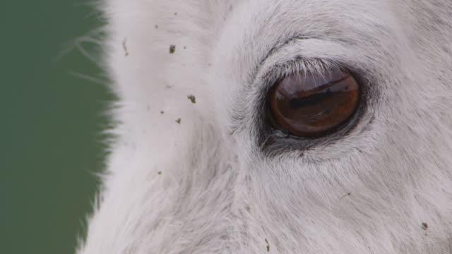 Face and eye of mountain goat (Oreamnos americanus), Glacier National Park, USA