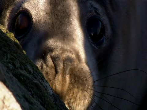 face and eyes of grey seal pup - kegelrobbe stock-videos und b-roll-filmmaterial